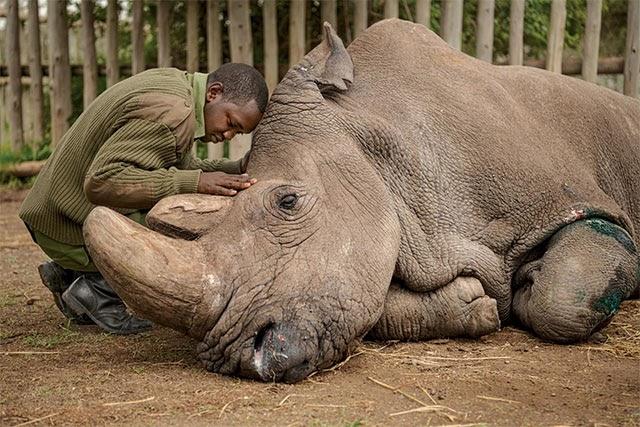 Sự ra đi của tê giác trắng đực cuối cùng phương Bắc