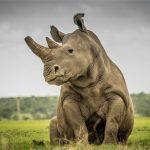 Tê giác trắng đực cuối cùng và cuộc chia ly đẫm nước mắt