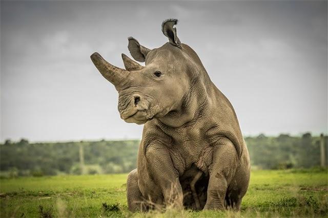 Tê giác trắng phương Nam