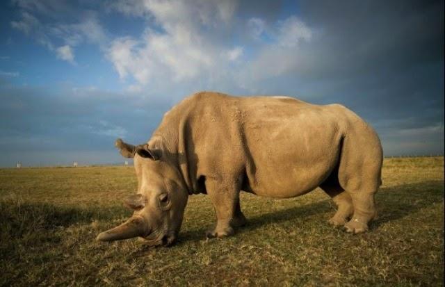 Tìm hiểu về tê giác trắng đực cuối cùng